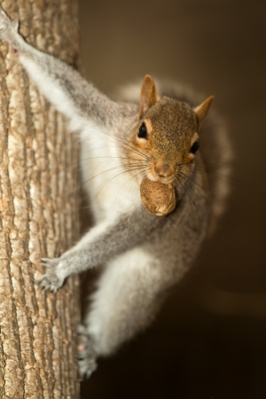Eastern Gray Squirrel climbing a tree and holding a nut in Maryland during the Winter