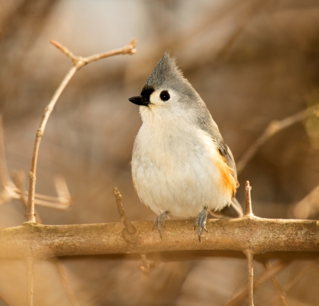 Tufted Titmouse songbird posarse en un �rbol en un bosque de Maryland durante el invierno photo