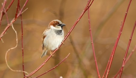 urban wildlife: Male House Sparrow perching on a twig in Maryland during the Winter