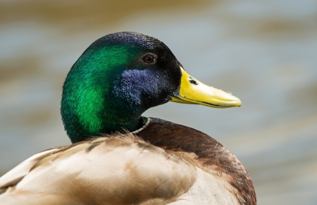 Profile of a male Mallard duck resting by a lake in Maryland during the Winter
