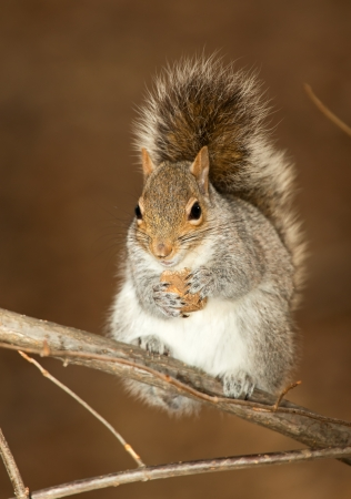 urban wildlife: Eastern Gray Squirrel sitting on a branch holding a nut in Maryland during the Winter