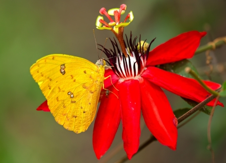 sulphur: Cloudless Sulphur butterfly feeding on a red flower in Guatemala Stock Photo