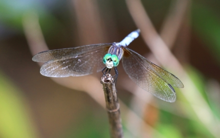translucense: Male Blue Dasher dragonfly resting on a twig in Maryland during the Summer Stock Photo