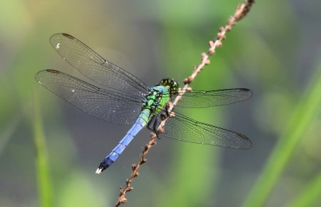 Male Eastern Pondhawk dragonfly resting on a twig in Maryland during the Summer