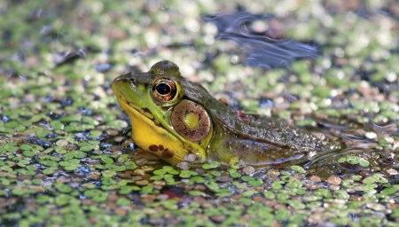 mottling: Adult male Northern Green Frog sitting in a pond with duckweed in Maryland during the Summer