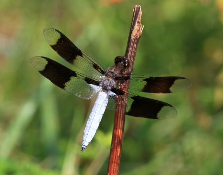 pruinescence: Male Common Whitetail dragonfly resting on a twig by a lake in Maryland during the Summer