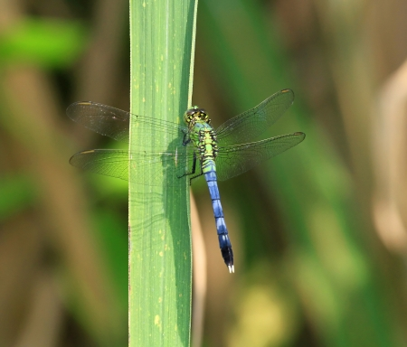 erythemis: Male Eastern Pondhawk dragonfly resting on a leaf in Maryland during the Summer Stock Photo