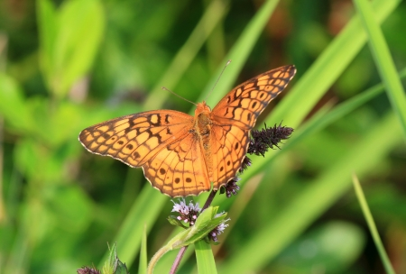 Variegated Fritillary butterfly feeding on meadow wildflowers in Maryland during the Summer Stock Photo