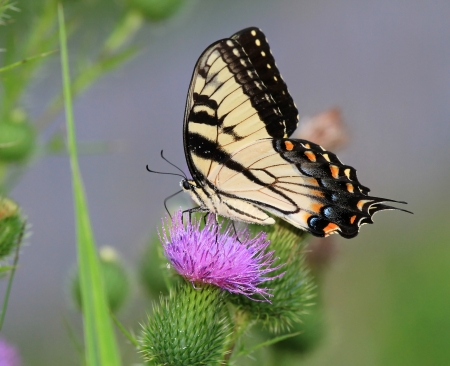 Eastern Tiger Swallowtail butterfly feeding on Spear Thistle wildflowers in Maryland during the Summer Stock fotó