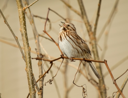 Song Sparrow perching on a twig and singing in Maryland during the Spring