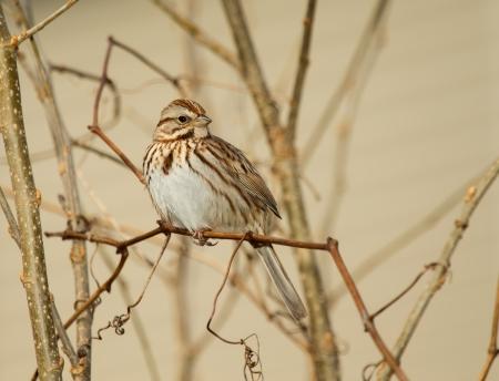 Canción Sparrow posado en una ramita en Maryland durante la primavera Foto de archivo - 18725723