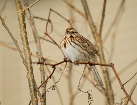 Canción Sparrow posado en una ramita en Maryland durante la primavera Foto de archivo - 18725719