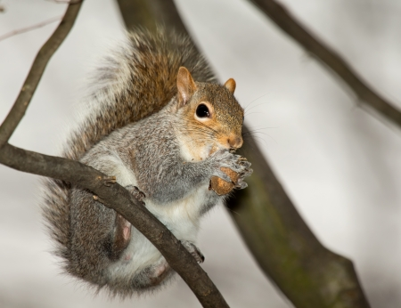 Eastern Gray Squirrel sitting on a branch eating a nut in Maryland during the Spring photo