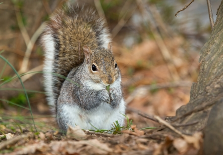 sitting on the ground: Eastern Gray Squirrel sitting on the ground eating vegetation in Maryland during the Spring Stock Photo