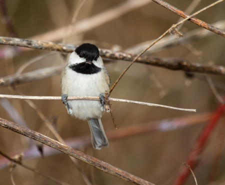 carolinensis: Carolina Chickadee perching in a tree in Maryland during the Spring