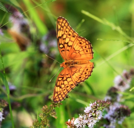 arthropod: Variegated Fritillary butterfly feeding on meadow wildflowers in Maryland during the Summer Stock Photo