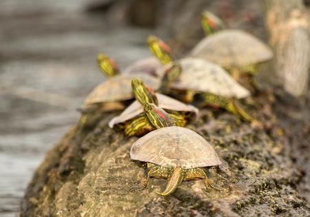 basking: Adult Red-eared Slider pond turtles basking on a log in Maryland during the Spring