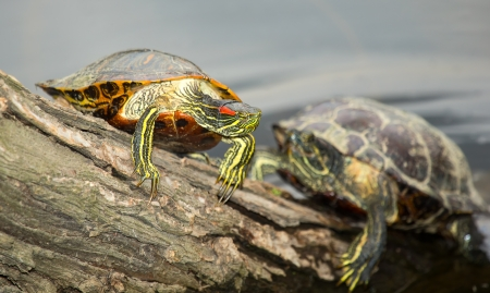 Adult Red-eared Slider pond turtle basking on a log in Maryland during the Spring Stock Photo