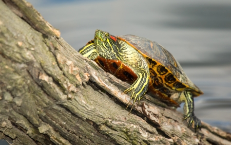 Adult Red-eared Slider pond turtle basking on a log in Maryland during the Spring photo