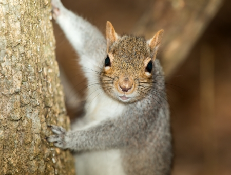 Closeup of an Eastern gray squirrel climbing a tree in Maryland during the Spring