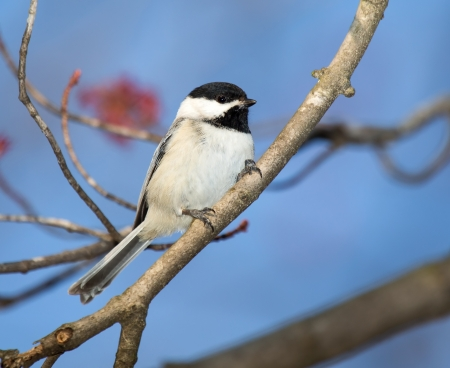 perching: Carolina Chickadee perching in a tree in Maryland during the Spring