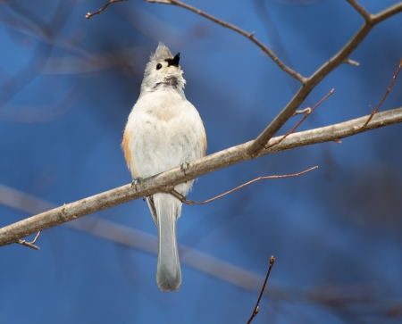Tufted Titmouse songbird perching in a tree and singing in Maryland during the Spring photo