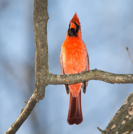 Male Northern Cardinal bird perching in a tree in Maryland during the Spring