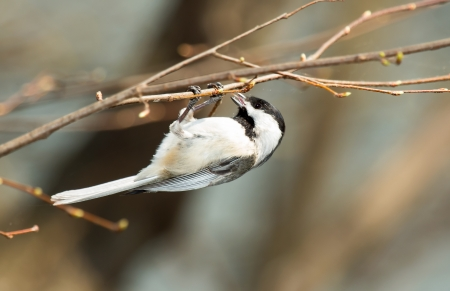 Carolina Chickadee hanging in a tree while feeding in Maryland during the Spring photo