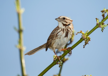 Song Sparrow perching on a twig in Maryland during the Spring