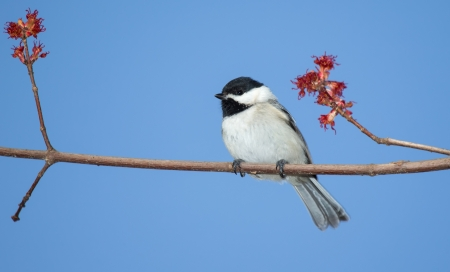 Carolina Chickadee perching in a tree in Maryland during the Spring