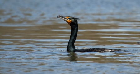suliformes: Double Crested Cormorant swimming in a lake in Maryland during the Spring