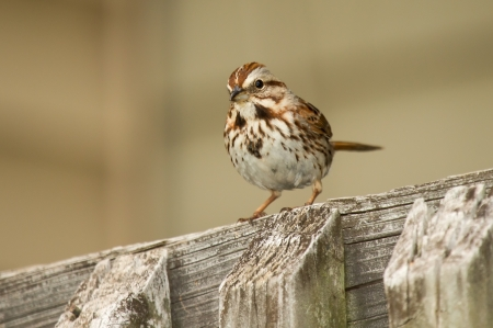 Song Sparrow perching on a fence in Maryland during the Spring
