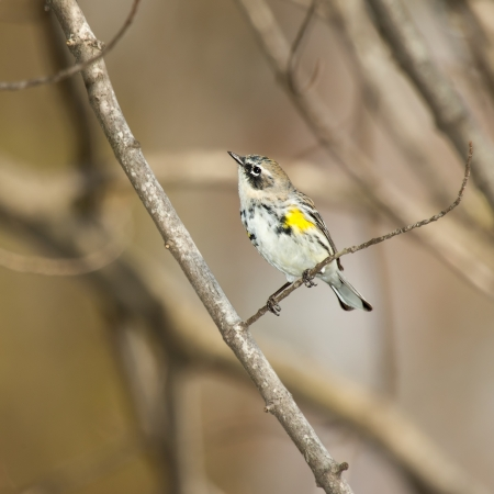 Yellow-rumped Warbler perching on a branch in woodland in Maryland during the Spring photo