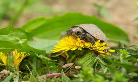 Very tiny Eastern Painted Turtle sitting on a wildflower in Maryland during the Spring