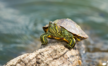 Young Red-eared Slider pond turtle basking on a log in Maryland during the Spring photo