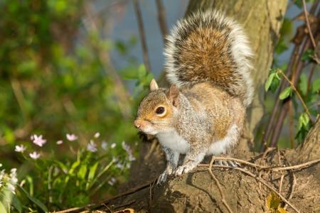 Oostelijke grijze eekhoorn zittend op een boomstronk in bos in Maryland tijdens de Lente