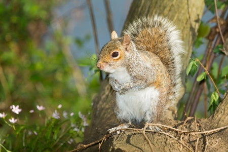 urban wildlife: Eastern Gray Squirrel sitting on a tree stump in woodland in Maryland during the Spring