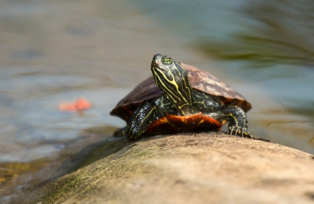 cooter: Young Northern Red-bellied Cooter pond turtle basking on a log in Maryland during the Spring Stock Photo