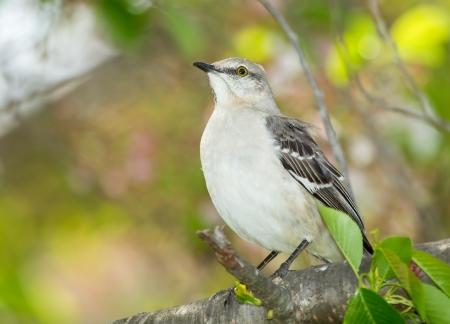 ruiseñor: Northern Mockingbird posado en un árbol en Maryland durante la primavera