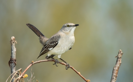 Northern Mockingbird perching on a twig in Maryland during the Spring Stock Photo