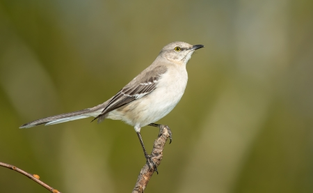 mockingbird: Northern Mockingbird perching on a twig in Maryland during the Spring Stock Photo