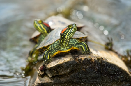 Red-eared Slider pond turtles basking on a log in Maryland during the Spring photo