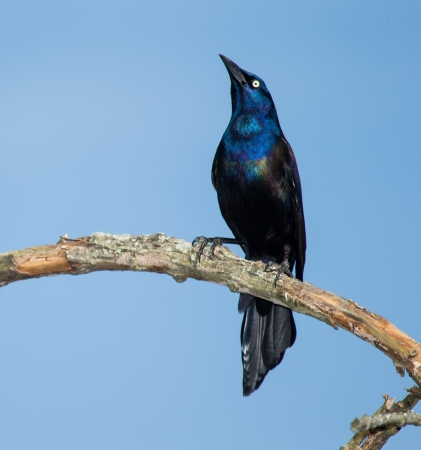 Common Grackle perching on a tree branch in Maryland during the Spring Stock Photo