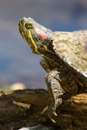 Detailed profile of a Red-eared Slider pond turtle basking in the sun in Maryland during the Spring photo