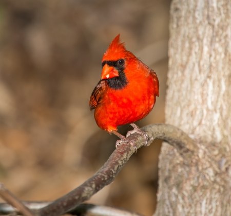 Male Northern Cardinal bird perching in a tree in Maryland during the Spring photo