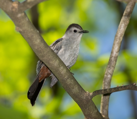 gray catbird: Adult Gray Catbird perching in a tree in Maryland during the Spring