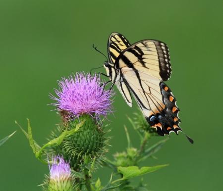 アゲハチョウのタイガー東部メリーランド州槍あざみ野の花夏の間に餌