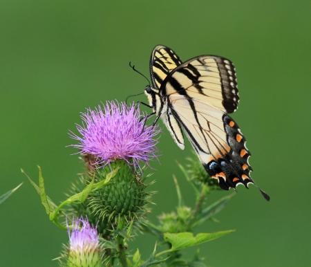 Eastern Tiger Swallowtail butterfly feeding on Spear Thistle wildflowers in Maryland during the Summer Stock Photo