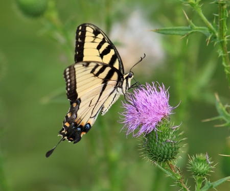 Eastern Tiger Swallowtail butterfly feeding on Spear Thistle wildflowers in Maryland during the Summer photo