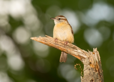 Carolina Wren perching on a branch in woodland in Maryland during the Spring photo